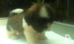 Shitzu Puppies for Sale: DAte: May 26, 2016 Female