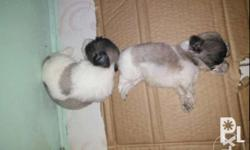 Pure shitzu puppies 6males avialable