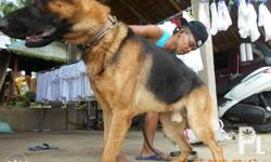 german shepherd for SALE! SHOW LINE, BLACK MASK,