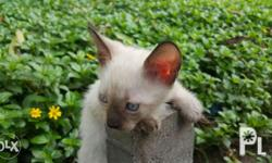 Pure breed siamese cats Choco point Nakain na Litter