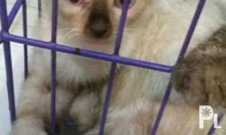 For sale 2 months old Siamese cat Male and Female