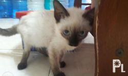 5 months old Pure breed siamese kittens for sale! Cute,