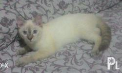 3 siamese kittens for sale. 1 female = 2,500 php 2 male