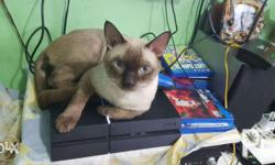100% purebreed siamese Male 11months old Food: princess