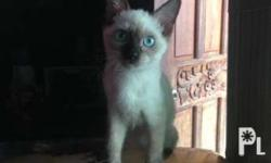 3 months Siamese Kitten. Siamese father. Mother is