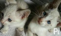 Selling my pure siamese cat kittens. Mom pure siamese