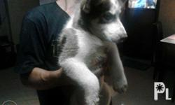 siberian husky male august 19 2015 red white pcci blue