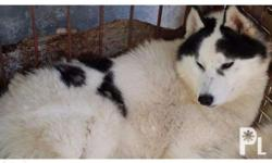 Siberian Husky Adult For Sale Son of Kirbie of Top Star