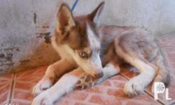 For sale 5 months old Siberian husky brown. male
