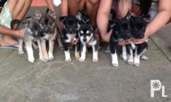 Siberian husky and doberman Fawn mix puppies 3 males, 2