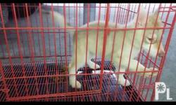 Female siberian husky 2 months old Complete vaccine