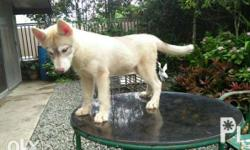 one female siberian husky looking for a new home relase