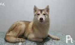Siberian husky Female, 12 months old PCCI registered.