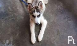 Female Siberian Husky (Pure) Dob: June 30, 2016 NOT FOR