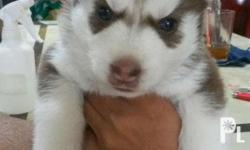Siberian Husky for sale 2 puppies available Both