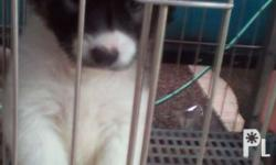 Mixbreed Belgian Malinois Siberian Husky For Sale In Quezon City