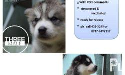 siberian husky puppies for sale. born july 13, 2016.