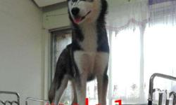 For sale Quality Siberian husky puppies Please read