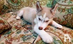Male and Female Siberian Huskies for Adoption Date of