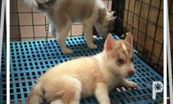 For Sale Hi Quality Siberian Husky Puppies But we are