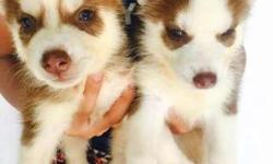 Siberian husky puppies for imeadiate Release
