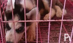 Siberian husky puppies for sale All bi.eyed Male
