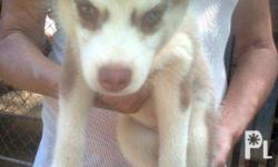 Siberian Husky puppies , pure breed , 3 months ,