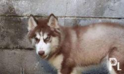 Siberian Husky Puppies - Wooly Line 2 female- 3 months