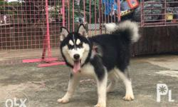 Siberian Husky Wooly line female available Complete