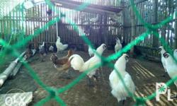 Silkie chicken for sale