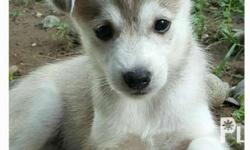 Spitz-Husky puppies looking for loving homes this