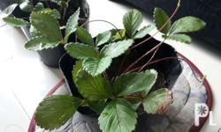 For sale strawberry plants from La Trinidad Benguet.