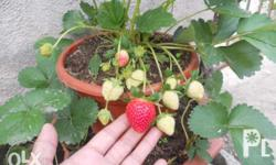 Strawberry plants runners Greenthumb Ornamentals