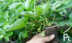 Strawberry Seedlings 100% heat resistant variety for