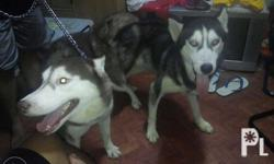 Stud service siberian husky Black and white Blue eyes