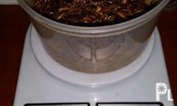 Forsale superworm mealworm we are located in sampaloc