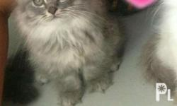 Female Persian Kitten DOB Oct 30, 2017 Ready for