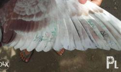 for sale taiwan racing pigeon cock off color nhrp ring