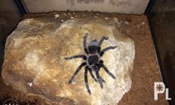 Selling for a good friend Lasiodora Parahybana~ size