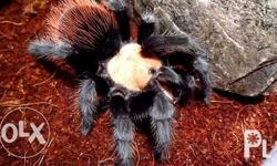 "Brachypelma albicep 2.5"" Mandaluyong or nearby areas"
