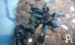 Fos sale sure buyer no to lowballers b.vagans 2cm 350