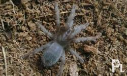 "Tarantula slings, 1"" Google for adult pics and other"