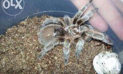 for sale: package sale 1.5k G.rosea ncf tarantula 4
