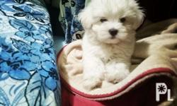 Female Teacup Litter of King`s Bugoy 21Rm stud