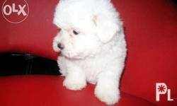 contact the breeder : 0917.333.7951/ 509.21.41 male,