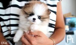 Highest quality Teacup Pom imported from Korea