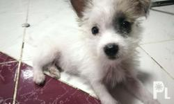 Terrier half Shih tzu Male puppy for Sale, 2 months old