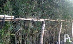 thai bamboo for your landscape project. good as