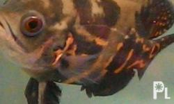 Healthy fishes, massive eater. Diet: super worms, raw