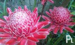 Torch plant with free fiber pot.If you�re looking for